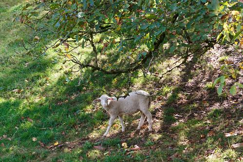 Mouton à Gernsbach