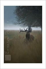 Red Deer The King (Emmanuel DEPARIS) Tags: uk red photo nikon richmond deer emmanuel cerf d4 brame animalier deparis