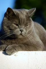 DSC_0516 (juberhas) Tags: summer pet animal cat exterior outdoor gato verano british mascota britanico verano2012