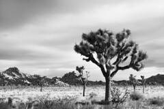 Sunrise near West Entrance (Joshua Tree National Park) Tags: california bw blackwhite nationalpark desert joshuatree mojave
