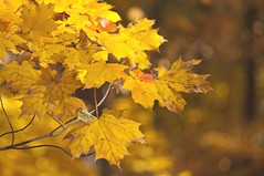 Yellow Gold Maples (Lojones13) Tags: autumn fall yellow gold mapleleaves