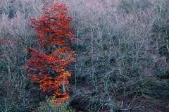 Contraste en el Faedo de Ciñera. Contrast in the beech forest of Ciñera (pauli.lazo) Tags: autumn red naturaleza tree rojo nikon árboles árbol otoño beatiful nikonusers nikonistas beatifulcapture