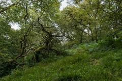 Crooked trees (pjparra) Tags: voyage travel autumn trees forest automne scotland wideangle arbres trossachs forêt ecosse queenelizabethforestpark