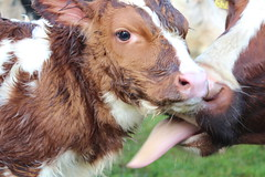 Oh my Baby Explore # 49  ( 10-11-2015 Thanks !! (excellentzebu1050) Tags: animal animals closeup cow cattle outdoor farm birth explore newborn calf calves newlife animalportraits dairycows explored coth5 newborncalf2015nov