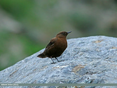 Brown Dipper (Cinclus pallasii) (gilgit2) Tags: pakistan birds fauna canon geotagged wings wildlife feathers sigma tags location species category avifauna gilgit cincluspallasii gilgitbaltistan sigma150500mmf563apodgoshsm imranshah canoneos70d jutial browndippercincluspallasii gilgit2