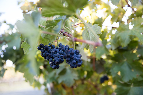 Two grape bunches hanging from vine by winecountrymedia, on Flickr