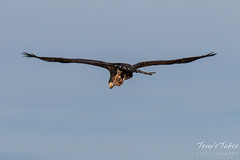 Bald Eagle takes flight with its lunch