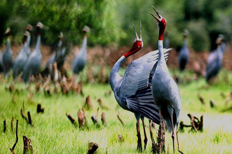 Sarus-cranes-in-Tram-Chim-National-Park