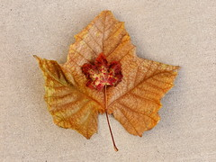 1 Large and 1 Small 2 or Happy Thanksgiving 2015 (Mertonian) Tags: thanksgiving morning red 2 two texture leaves sunrise canon wonder concrete dawn 1 golden leaf maple display mark small cement large powershot ii simplicity veins delicate ll ineffable mertonian g1x robertcowlishaw canonpowershotg1xmarkii canonpowershotg1xmark2 1largeand1small2
