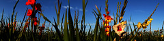 Flowers panorama (na_photographs) Tags: colors colorful colours colourful bunt blhen farbenfroh