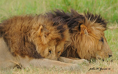 JHG_8920-b Dozing Lions, Masai Mara, Kenya. (GavinKenya) Tags: africa wild nature animal june john mammal photography gavin photographer kenya african wildlife july grand safari dk naturephotography kenyasafari africansafari 2015 safaris africanwildlife africasafari johngavin wildlifephotography kenyaafrica kenyawildlife dkgrandsafaris africa2015 safari2015 johnhgavin