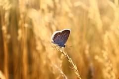 Backlight (Marcell Krpti) Tags: sunset fauna backlight butterfly hungary afternoon lepidoptera goldenhour magyarorszg goldenlight mtra lycaenidae plebejusargus silverstuddedblue polyommatinae lepke muzsla ezstsboglrka