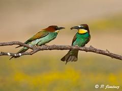 Abejarucos 31 (jimenezcuestapepe) Tags: fauna sevilla aves abejaruco andalucia espana localizacion morondelafrontera