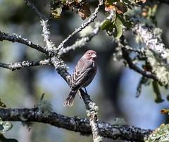 House Finch (David Badke) Tags: oakbay bc bird