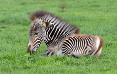 Grvy's Zebra Foal (Mike Serigrapher) Tags: chester zoo cheshire grvys zebra foal