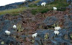 Herd Instinct (Dru!) Tags: seabridgesept2016 bell2 boundaryranges coastmountains oreamnos americanus mountaingoats goats bcbritishcolumbia canada ungulate goat mountaingoat work unukriver bc britishcolumbia