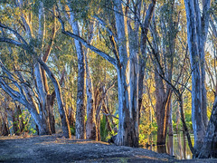 "Corowa Flooded Forest • <a style=""font-size:0.8em;"" href=""http://www.flickr.com/photos/141572193@N06/30057228710/"" target=""_blank"">View on Flickr</a>"
