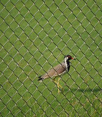 From the other side: Red wattled lapwing (hasham2) Tags: fence bird wildlife lapwing red mft microfourthirds olympus em10 green