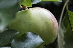 Årets frugt - et æble