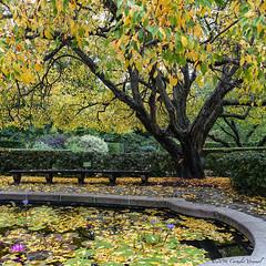 A Crabapple Tree in Atumn Dress (CVerwaal) Tags: autumn centralpark conservatorygarden newyork ny usa secretgarden japanesecrabapple crabapple trees sonyrx100iii