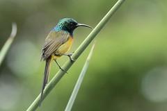 Anthobaphes violacea (Dindingwe) Tags: anthobaphesviolacea souimanga souimangaorang sunbird orangebreastedsunbird nectariniidae kirstenbosch capetown westerncape