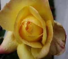 Rose, 75217/7420 (roba66) Tags: blumen blume blten flower blossom roba66 fleur flori flor flora flores bloem plants pflanzen colores color colour coleur makro macro closeup farbe rose
