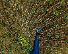 peafowl (Marcelo De Podestá) Tags: flickrbrasil flickrbirds flickr brasilemimagens birds minasgerais brasil imagens natureza naturaleza canon fotos natgeowild natgeowildlife natgeo photo shot flickraddicts dawn eventide greatphotographers earthnature earth discoveryphotos discoveryworld nationalgeographicgroup nationalgeographic nationalgeographicwildlife onlythebestofflickr natureselegantshots