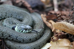 Grass snake - Wanstead Park (ChristianMoss) Tags: grass snake reptile natrix eppingforest nature wildlife canon london