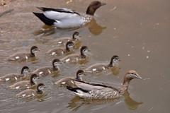 All of the family together (Luke6876) Tags: australianwoodduck woodduck duck bird animal wildlife australianwildlife family ducklings