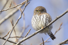 Bowron Northern Pygmy Owl (Jeff Dyck) Tags: northern pygmy owl northernpygmyowl pygmyowl glaucidiumgnoma princegeorge bowron fraserriver birds jeffdyck