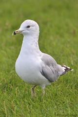 Gaviota de Delaware / Ring-billed Gull (Larus delawarensis) (avgomo) Tags: usa unitedstates eeuu estadosunidos chicago fauna birds aves gaviota gull