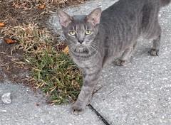 2016- Feral 01 (teresamarkos) Tags: cat cats kitten kittens felines feline