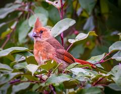 kfhgw_20160622-5 (Karen GW) Tags: nature birds cardinal wisconsin female birdintree redbird