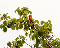 Stationed At His Post (that_damn_duck) Tags: cardinal animal bird nature treelimb