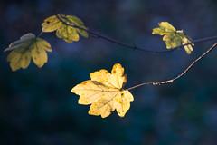 Sun's final kiss (marktmcn) Tags: sunkissed autumnal leaf autumn final kiss sunlight sunlit leaves end day low key woodland dark bokeh background d610 nikkor 28300mm sun kissed