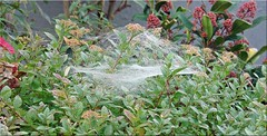 Netzberwurf - net cover (2) (Jorbasa) Tags: jorbasa hessen wetterau germany net netz netzhaube cover netcover spider spinne morgentau tau morningdew planze plant blte blossom herbst autumn