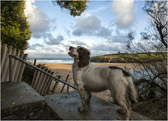 waiting for the command (hisdream) Tags: dog command harlynbay cornwall sunshine beach