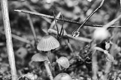 Mushrooms and a droplet (ZeGaby) Tags: blackandwhite droplet garden macro macrophotography nature naturephotography noiretblanc pentax100mmmacro pentaxk1 pixelshift water