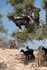 Getter - Marocko (Hans Olofsson) Tags: 2016 essaouira marocko morocco getter goats goat