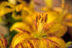 Yellow Beauty (fs999) Tags: 100iso fs999 fschneider aficionados zinzins pentaxist pentaxian pentax k1 pentaxk1 fullframe justpentax flickrlovers ashotadayorso topqualityimage topqualityimageonly artcafe pentaxart corel paintshop paintshoppro x9ultimate paintshopprox9ultimate masterphotos fleur flower blume bloem macrolife macro makro sigmaart1835mmf18dchsm sigma sigma1835 hsm 1835 f18