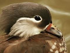 Mandarin Duck (Standardwing) Tags: mandarinduck anatidae aixgalericulata santillanazoo
