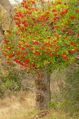 Heteromeles arbutifolia CHRISTMAS BERRY, TOYON (openspacer) Tags: berry heteromeles jasperridgebiologicalpreserve jrbp rosaceae shrub toyon