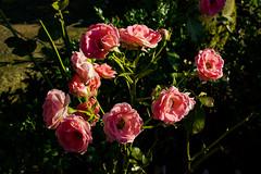 Roses (betadecay2000) Tags: beta rosen rosengarten beet beete pflanze flower plant plants green grn rosenbusch rosebush dornen dorn blhen rosenstrauch zierpflanze blume bltenblatt outdoor schrfentiefe