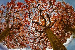 Trees of life - Arbres de vie (Sbastien Vermande) Tags: canon7d france midipyrnes lot automne autumn fisheye arbres trees feuilles leafs nature couleursdautomne autumncolors samyang8mm vermande