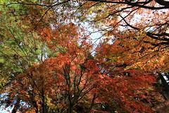 IMG_7769 (ciounanpan) Tags: 楓葉 福壽山農場 台中 梨山 參山國家風景區 秋天 逆光 溪瀑 台8線 中橫 楓之谷 楓紅 槭