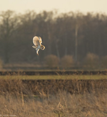 """Angel Wings"" (KHR Images) Tags: barnowl barn owl tytoalba holmefen cambridgeshire fenland wildlife nature birdofprey inflight flying hover hunting nikon d7100 kevinrobson khrimages"