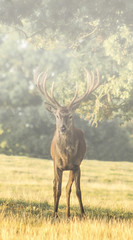 Out of the mist (Den Gilbert) Tags: fog mist landscape photography nature wildlife animals deer stag early morning portrait