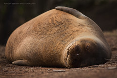 Snoozing at Moloaa Beach (namra38) Tags: monkseal endangeredspecies armanwerthphotography moloaabeach kauai hawaii sleeping resting