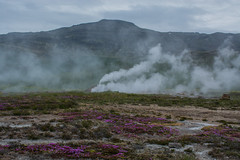 Flowers Bloom among the Vents at Geysir. (Nancy King Photography) Tags: alpineflowers flowers geysir iceland nature steam themal