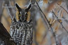 Long-eared Owl - 3935 (teagden) Tags: longeared owl longearedowl leo jenniferhall jenhall jenhallphotography jenhallwildlifephotography wildlifephotography wildlife nature naturephotography photography wild nikon idaho birdphotography bird avianphotography avian birdofprey raptor
